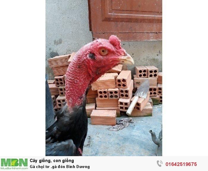 Gà chọi tơ .gà đòn Bình Dương2