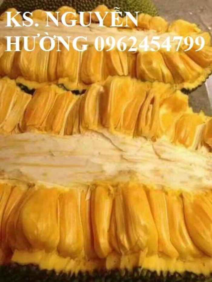 Mít trái dài, mít malaysia. Đơn vị cung cấp các loại cây giống ăn quả toàn quốc, giao cây toàn quốc6