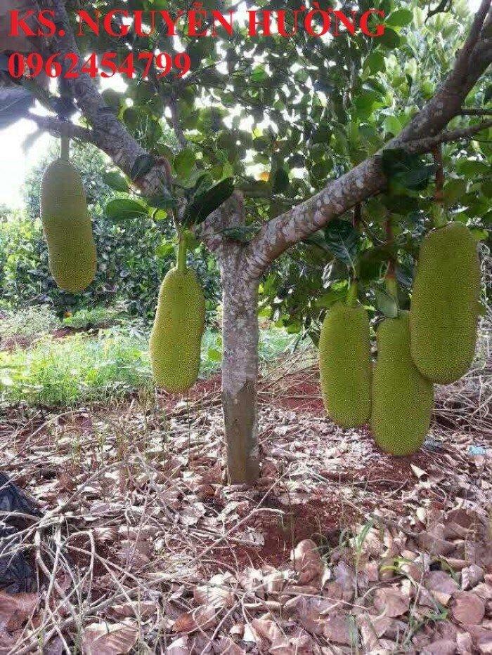 Mít trái dài, mít malaysia. Đơn vị cung cấp các loại cây giống ăn quả toàn quốc, giao cây toàn quốc4