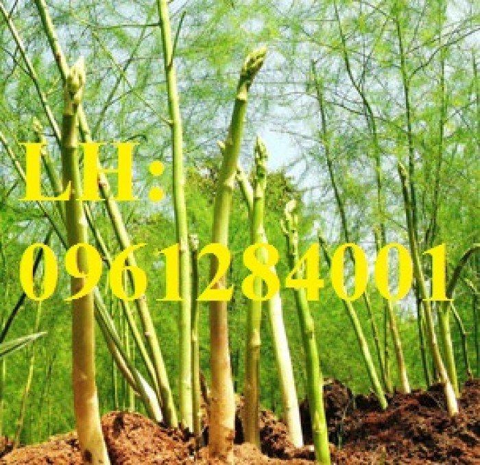 Măng tây xanh, măng tây tím. Địa chỉ cung cấp giống cây măng tây số lượng lớn, chất lượng đảm bảo1
