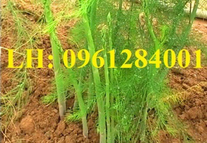 Măng tây xanh, măng tây tím. Địa chỉ cung cấp giống cây măng tây số lượng lớn, chất lượng đảm bảo2