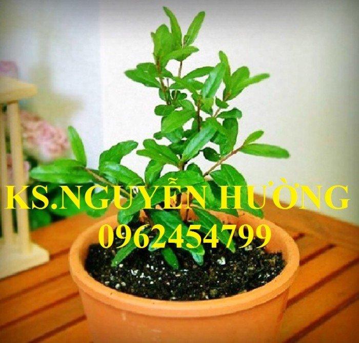 Cung cấp cây giống lựu đỏ, cây lựu lùn ấn độ. Cây giống đảm bảo chất lượng - giao cây toàn quốc2