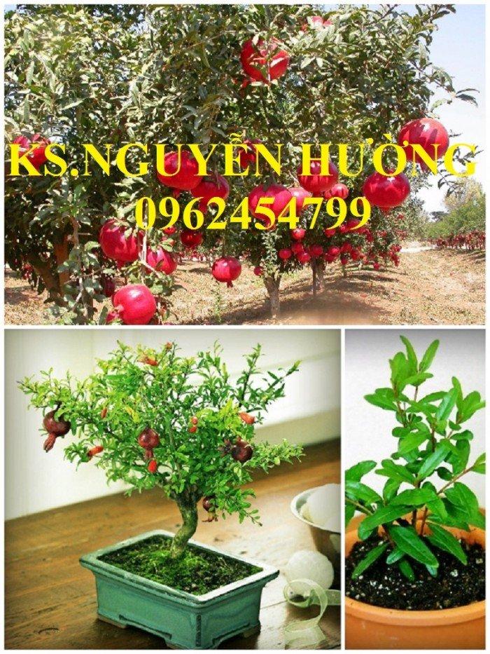 Cung cấp cây giống lựu đỏ, cây lựu lùn ấn độ. Cây giống đảm bảo chất lượng - giao cây toàn quốc0