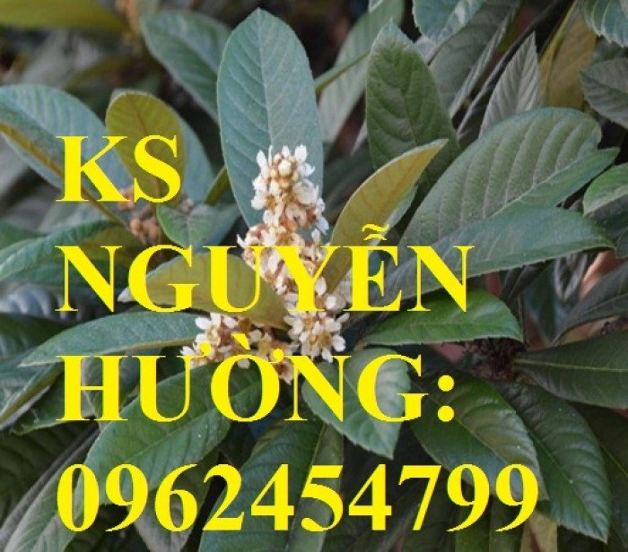 Cây giống biwa, cung cấp cây giống chất lượng, địa chỉ cung cấp cây, giao cây toàn quốc1