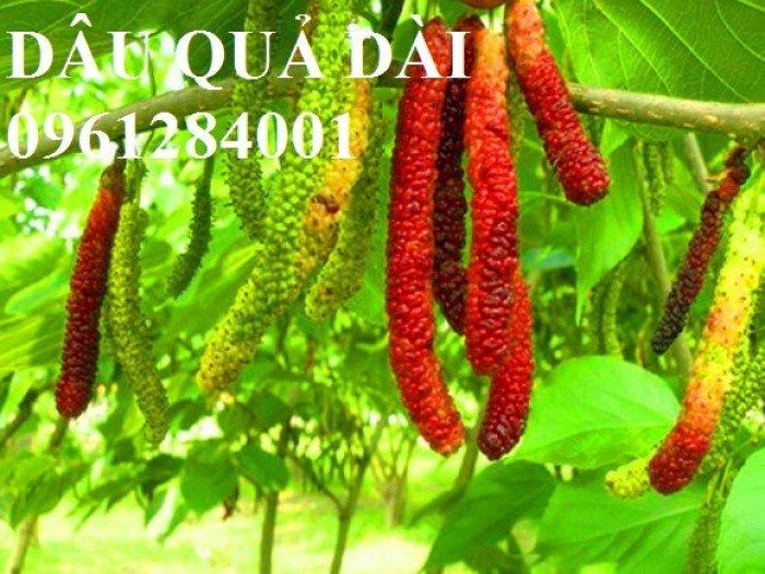 Cây dâu quả dài, cung cấp cây giống dâu quả dài chất lượng. Địa chỉ cung cấp cây giống toàn quốc1