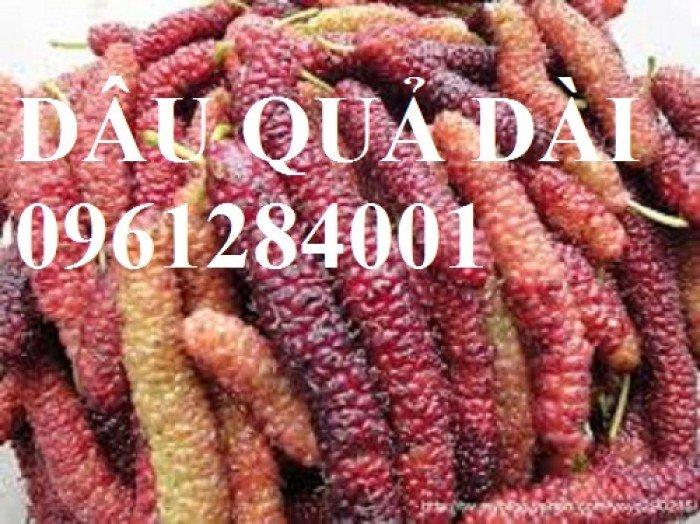 Cây dâu quả dài, cung cấp cây giống dâu quả dài chất lượng. Địa chỉ cung cấp cây giống toàn quốc4