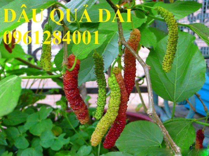 Cây dâu quả dài, cung cấp cây giống dâu quả dài chất lượng. Địa chỉ cung cấp cây giống toàn quốc0