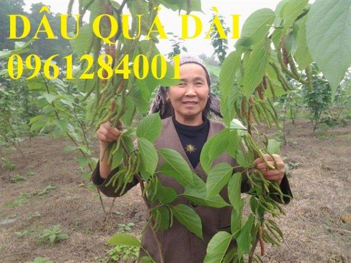 Cây dâu quả dài, cung cấp cây giống dâu quả dài chất lượng. Địa chỉ cung cấp cây giống toàn quốc2