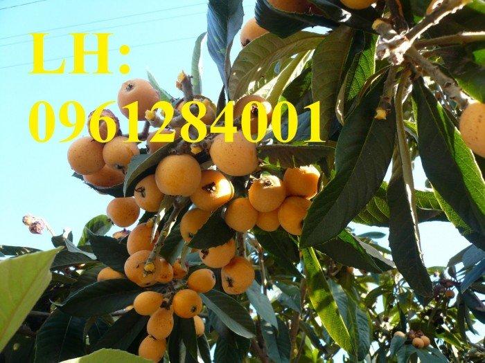Cung cấp cây giống biwa toàn quốc, cây giống đảm bảo chất lượng, giao cây toàn quốc3