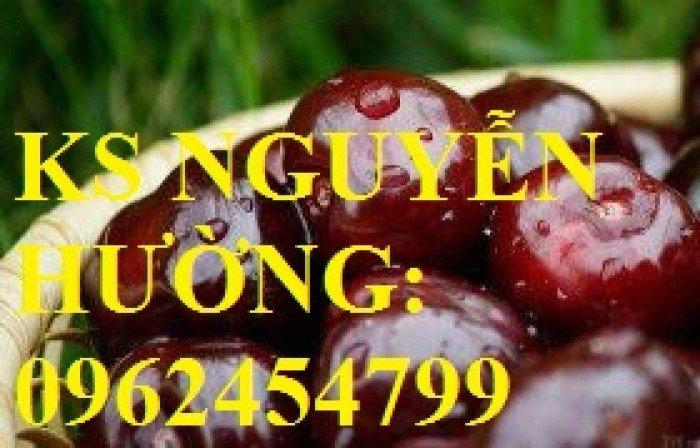 Cây giống cherry anh đào, cây giống cherry brazin. Địa chỉ cung cấp cây giống toàn quốc3