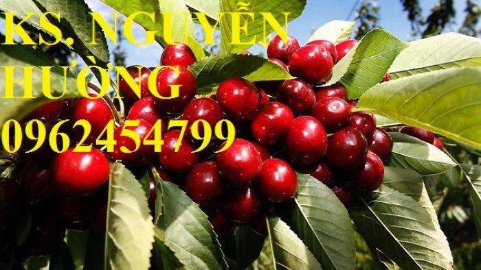 Cây giống cherry anh đào, cây giống cherry brazin. Địa chỉ cung cấp cây giống toàn quốc4