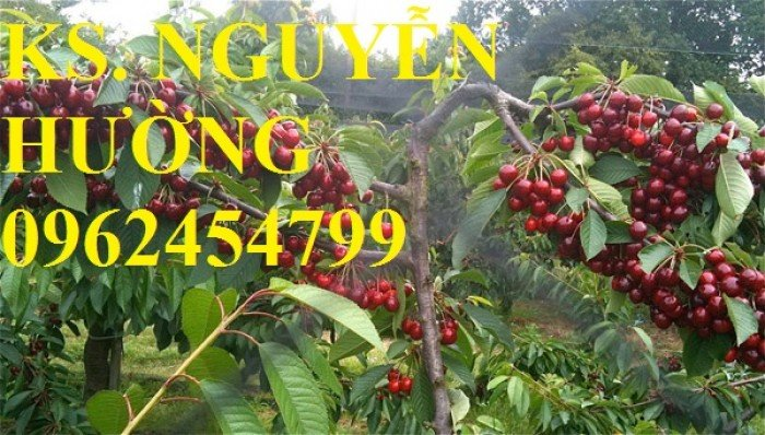 Cây giống cherry anh đào, cây giống cherry brazin. Địa chỉ cung cấp cây giống toàn quốc5