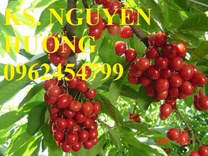 Cây giống cherry anh đào, cây giống cherry brazin. Địa chỉ cung cấp cây giống toàn quốc2