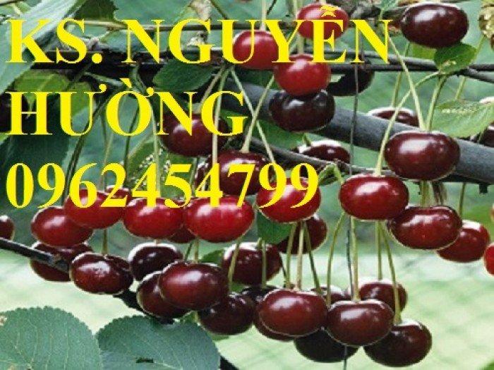 Cây giống cherry anh đào, cây giống cherry brazin. Địa chỉ cung cấp cây giống toàn quốc1