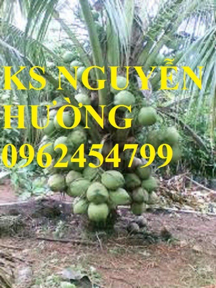 Dừa xiêm lùn, dừa xiêm xanh lùn, dừa xiêm đỏ lùn. Địa chỉ cung cấp cây giống toàn quốc1