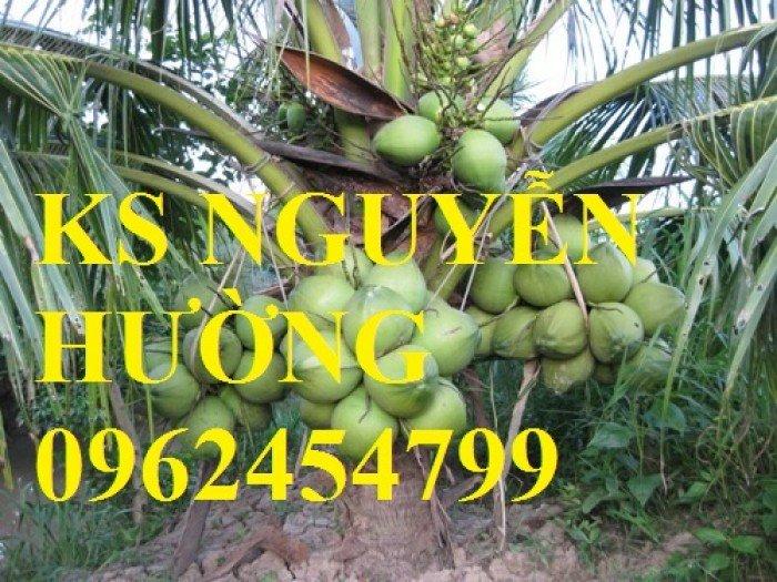 Dừa xiêm lùn, dừa xiêm xanh lùn, dừa xiêm đỏ lùn. Địa chỉ cung cấp cây giống toàn quốc2