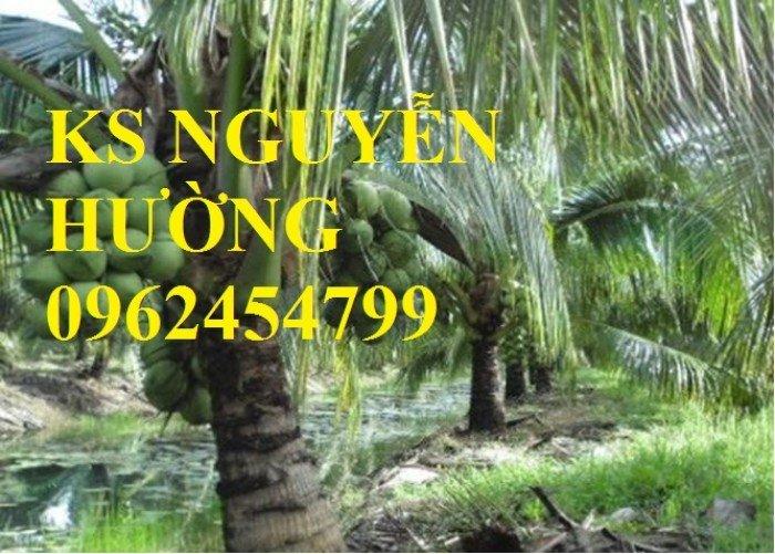 Dừa xiêm lùn, dừa xiêm xanh lùn, dừa xiêm đỏ lùn. Địa chỉ cung cấp cây giống toàn quốc4