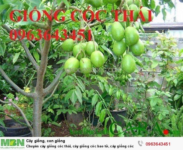 Chuyên cây giống cóc thái, cây giống cóc bao tử, cây giống cóc ta chuẩn, giá tốt nhất, giao cây toàn quốc0