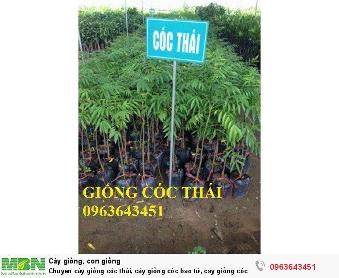Chuyên cây giống cóc thái, cây giống cóc bao tử, cây giống cóc ta chuẩn, giá tốt nhất, giao cây toàn quốc2
