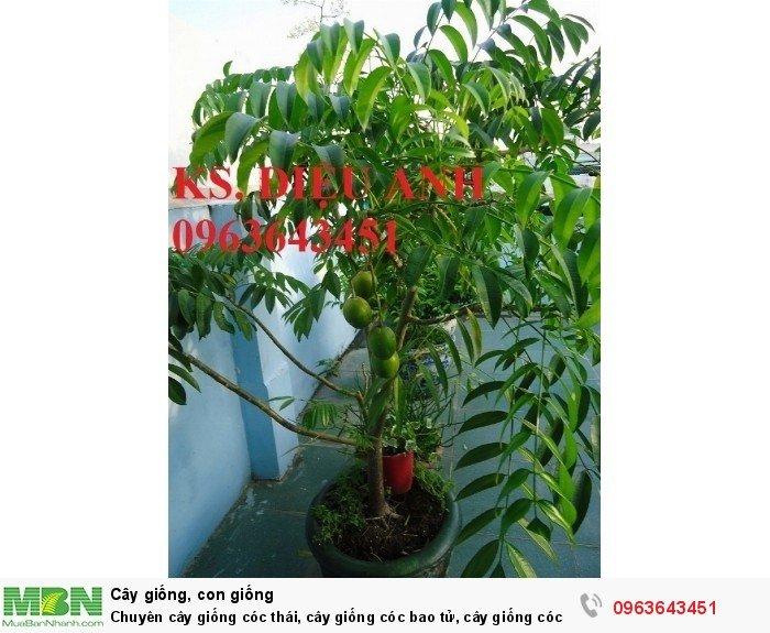 Chuyên cây giống cóc thái, cây giống cóc bao tử, cây giống cóc ta chuẩn, giá tốt nhất, giao cây toàn quốc3