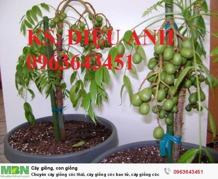 Chuyên cây giống cóc thái, cây giống cóc bao tử, cây giống cóc ta chuẩn, giá tốt nhất, giao cây toàn quốc9