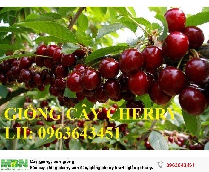 Bán cây giống cherry anh đào, giống cherry brazil, giống cherry nhiệt đới, cherry Úc, chery Mỹ chuẩn1