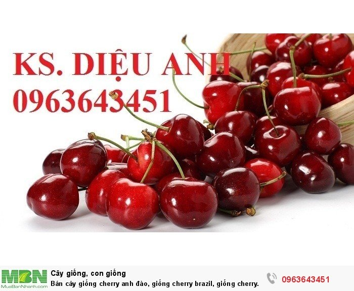 Bán cây giống cherry anh đào, giống cherry brazil, giống cherry nhiệt đới, cherry Úc, chery Mỹ chuẩn2