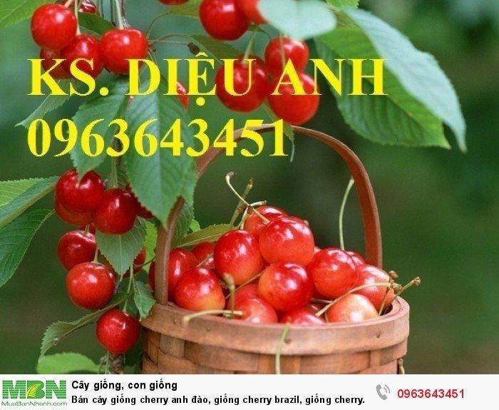Bán cây giống cherry anh đào, giống cherry brazil, giống cherry nhiệt đới, cherry Úc, chery Mỹ chuẩn3