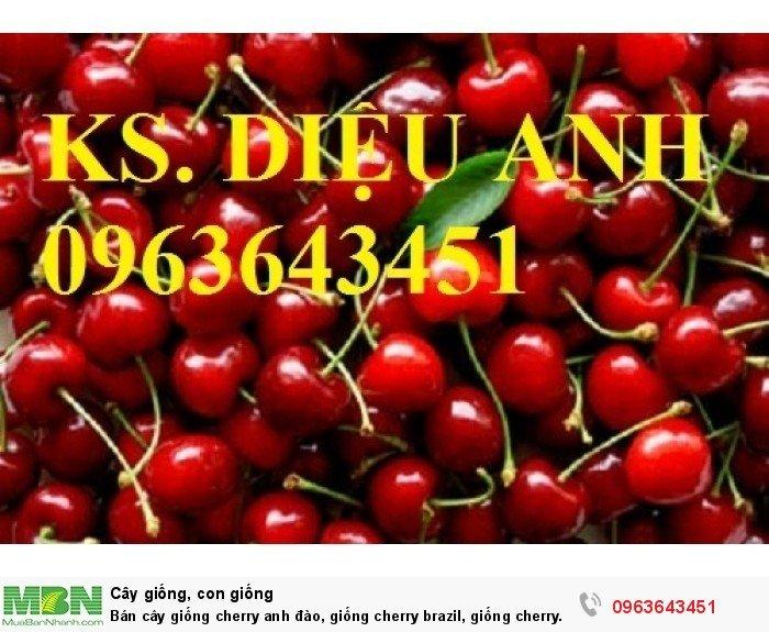 Bán cây giống cherry anh đào, giống cherry brazil, giống cherry nhiệt đới, cherry Úc, chery Mỹ chuẩn5