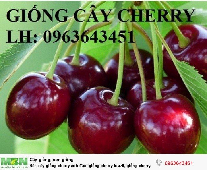 Bán cây giống cherry anh đào, giống cherry brazil, giống cherry nhiệt đới, cherry Úc, chery Mỹ chuẩn6