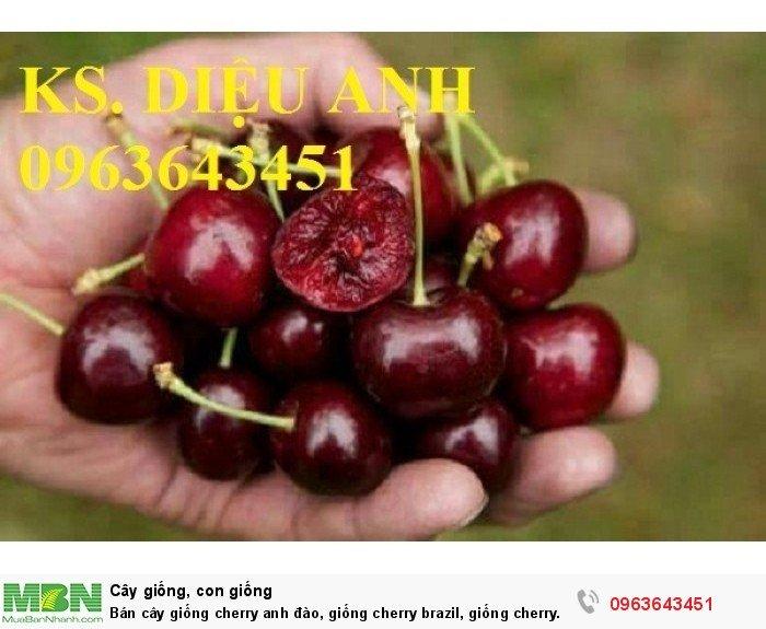 Bán cây giống cherry anh đào, giống cherry brazil, giống cherry nhiệt đới, cherry Úc, chery Mỹ chuẩn8