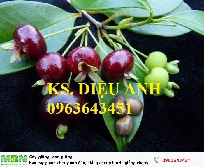 Bán cây giống cherry anh đào, giống cherry brazil, giống cherry nhiệt đới, cherry Úc, chery Mỹ chuẩn9