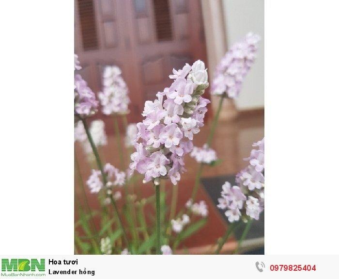 Lavender hồng2