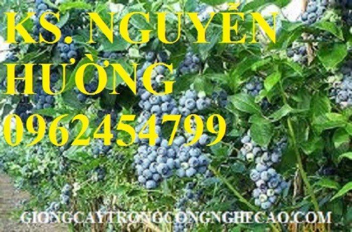 Cây giống việt quất, quả việt quất, trung tâm cung cấp cây giống việt quất, giao cây toàn quốc5