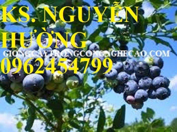 Cây giống việt quất, quả việt quất, trung tâm cung cấp cây giống việt quất, giao cây toàn quốc6