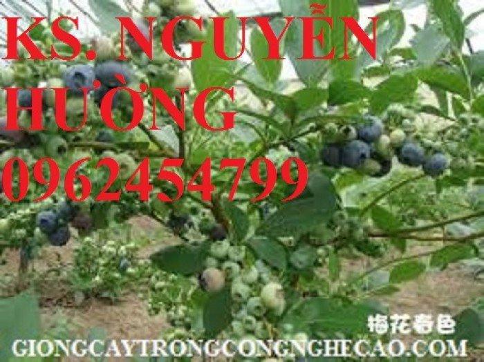 Cây giống việt quất, quả việt quất, trung tâm cung cấp cây giống việt quất, giao cây toàn quốc1