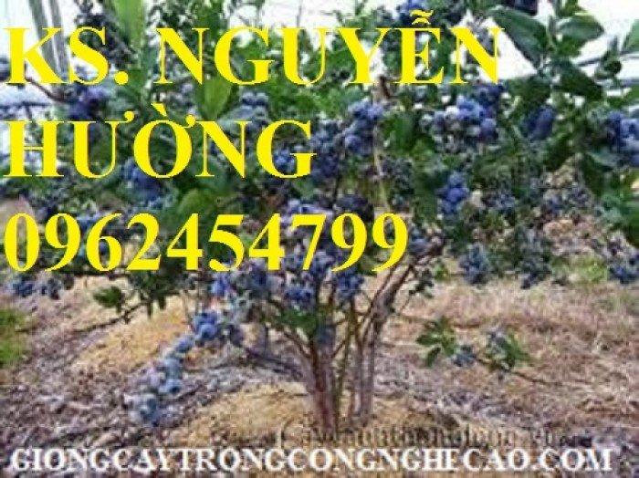 Cây giống việt quất, quả việt quất, trung tâm cung cấp cây giống việt quất, giao cây toàn quốc2
