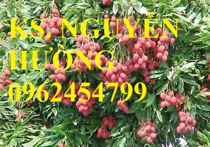 Trung tâm cung cấp cây giống vải thiều, vải không hạt số lượng lớn. Giao cây toàn quốc3