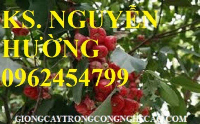 Cây roi đỏ, cây giống roi đỏ. Địa chỉ cung cấp cây roi đỏ cho năng suất cao, giao cây toàn quốc6
