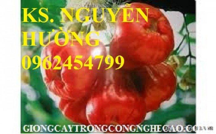 Cây roi đỏ, cây giống roi đỏ. Địa chỉ cung cấp cây roi đỏ cho năng suất cao, giao cây toàn quốc7