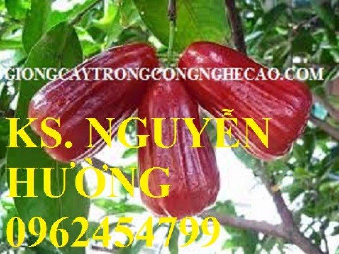 Cây roi đỏ, cây giống roi đỏ. Địa chỉ cung cấp cây roi đỏ cho năng suất cao, giao cây toàn quốc5