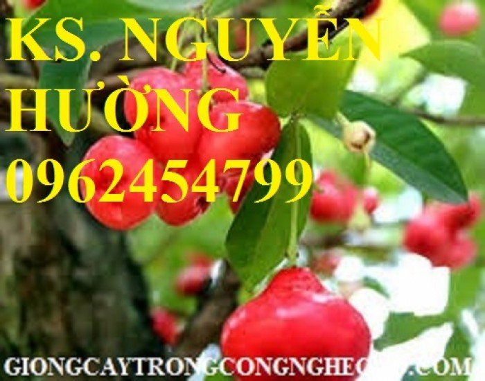 Cây roi đỏ, cây giống roi đỏ. Địa chỉ cung cấp cây roi đỏ cho năng suất cao, giao cây toàn quốc4