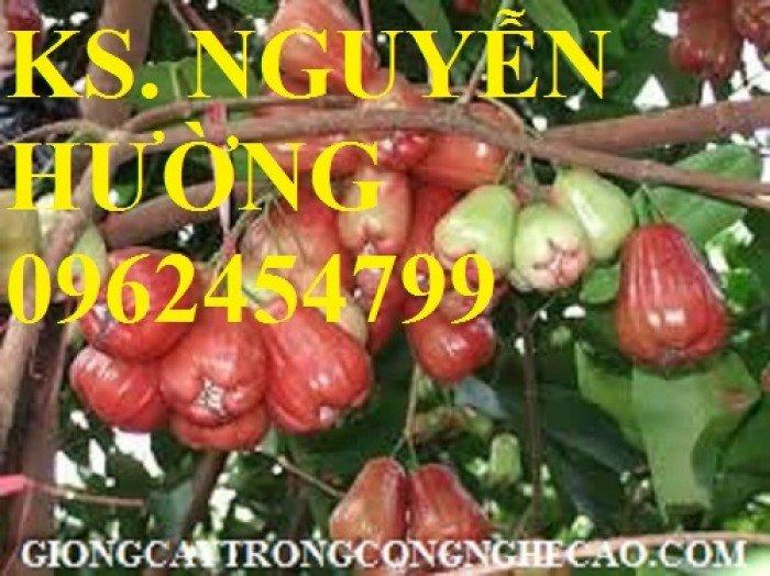 Cây roi đỏ, cây giống roi đỏ. Địa chỉ cung cấp cây roi đỏ cho năng suất cao, giao cây toàn quốc3