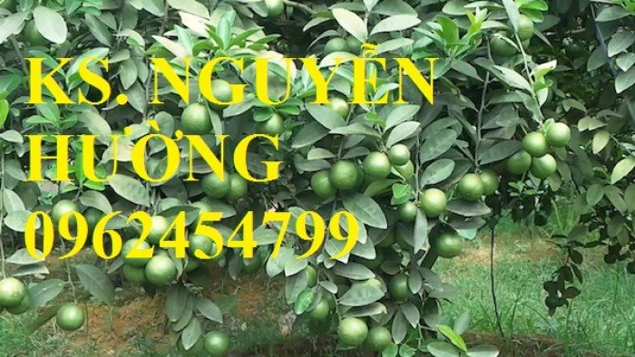 Cung cấp giống cây chanh tứ quý, chanh đào, chanh không hạt, cây giống chất lượng, giao cây toàn quốc3