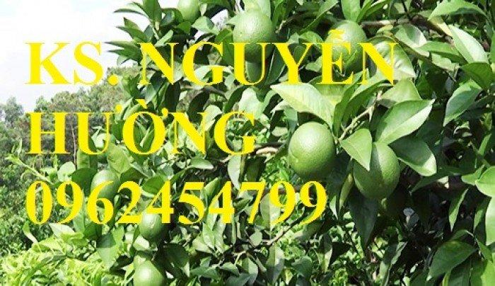 Cung cấp giống cây chanh tứ quý, chanh đào, chanh không hạt, cây giống chất lượng, giao cây toàn quốc2