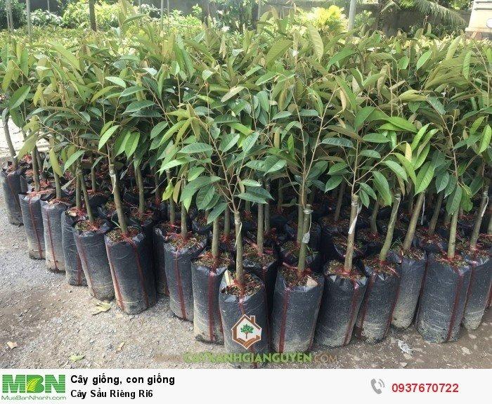 Cây Sầu Riêng Ri60