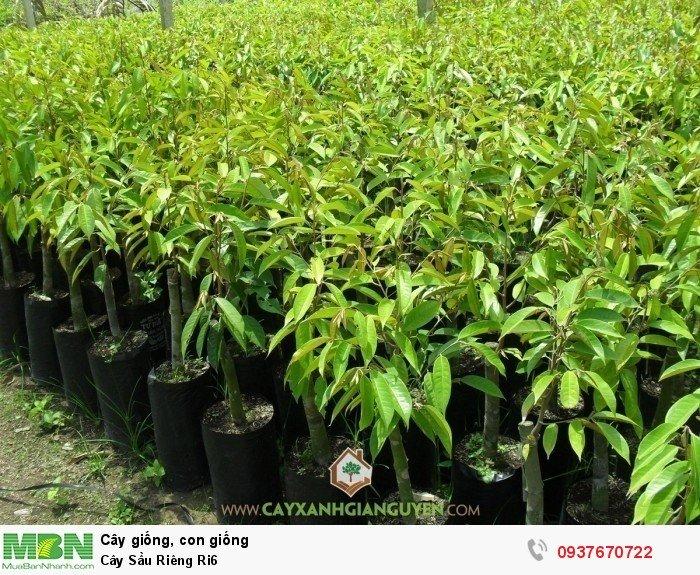 Cây Sầu Riêng Ri64