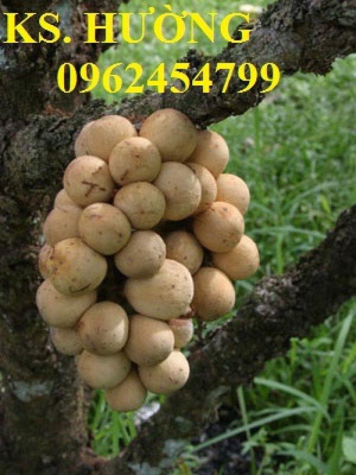Cung cấp cây giống ăn quả, cây bòn bon, cây dâu da đất, cây lòn bon, giao cây toàn quốc0