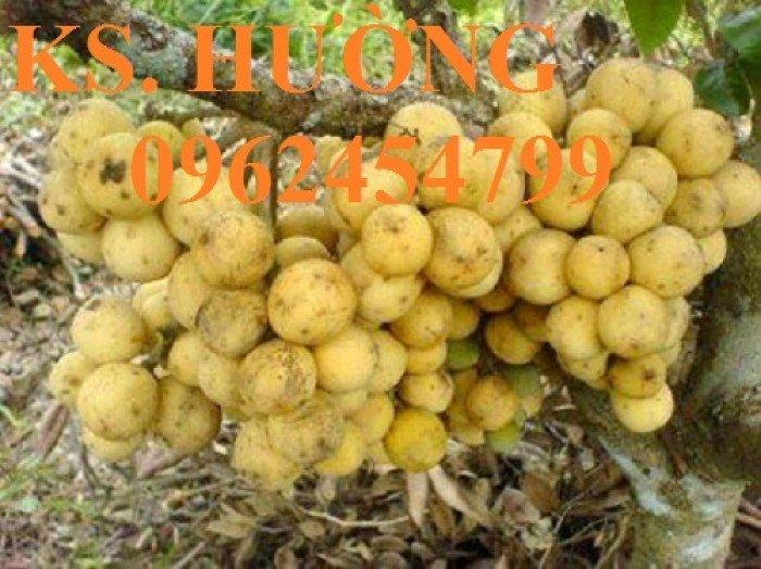 Cung cấp cây giống ăn quả, cây bòn bon, cây dâu da đất, cây lòn bon, giao cây toàn quốc8