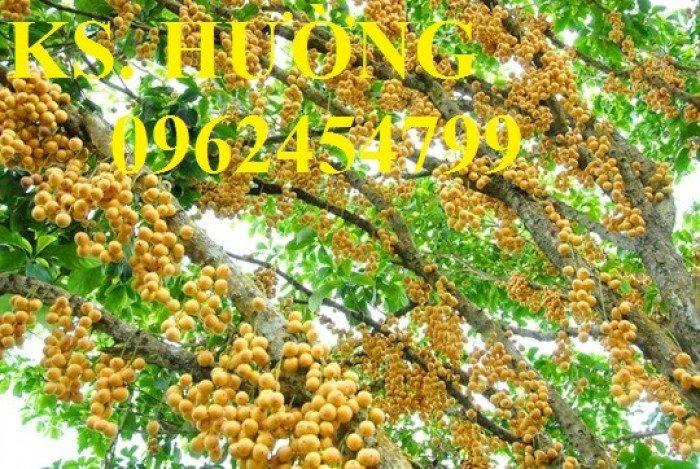 Cung cấp cây giống ăn quả, cây bòn bon, cây dâu da đất, cây lòn bon, giao cây toàn quốc10